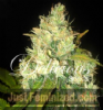 Delicious Black Russian Female 5 Marijuana Seeds